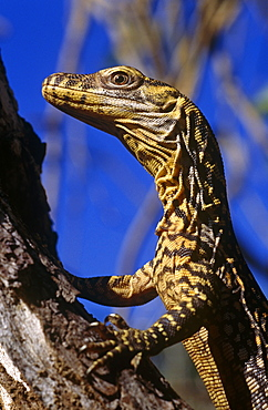 Komodo dragon (Varanus komodoensis) hatchling, which spend 2 - 3 years off the gound in the canopy.