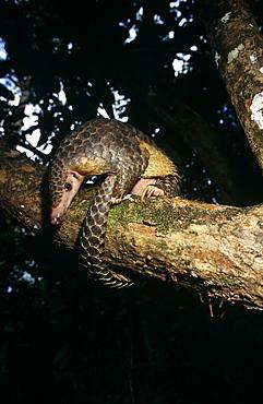 Pangolin (Manis javanica) foraging in tree canopy.