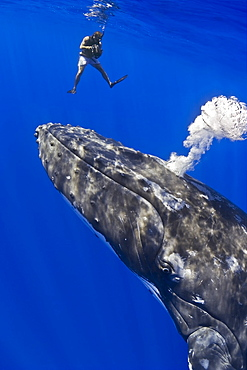 videographer and humpback whale, Megaptera novaeangliae, blowing bubbles, on migratory route, Pacific Ocean, MR 030305-VW
