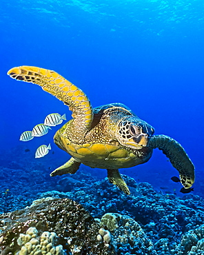 Green sea turtle (Chelonia mydas), an endangered species, with convict tang (Acanthurus triostegus) cleaning fish, Hawaii, United States of America, Pacific