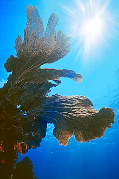 sea fan, Gorgonia sp., Looe Key, Florida Keys National Marine Sanctuary, Florida, USA, Caribbean Sea, Atlantic Ocean