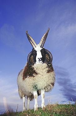 domesticated sheep jacob heughhead angus scotland