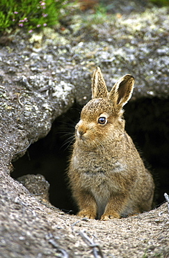 Mountain hare, Lepus timidus leveret, august, , Tomatin, Inverness, Scotland