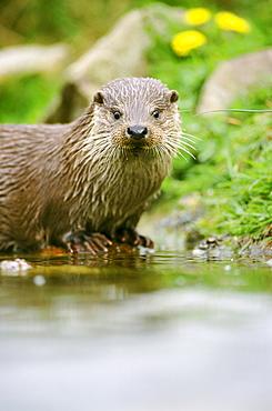 european otter, lutra lutra, (c). on rock, at water level, leeuwarden, nl