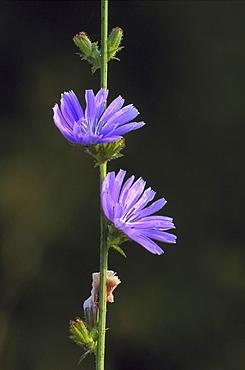 chicory, cichorium intybus, flowers, pasiene, latvia