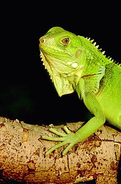 green tree iguana, iguana iguana, (c), in first light, mcclure, pa, usa