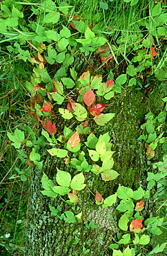poison ivy, rhus radicans, growing up tree trunk, mcclure, pa, usa