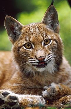 european lynx, felis lynx, portrait of young, bohemia, europe