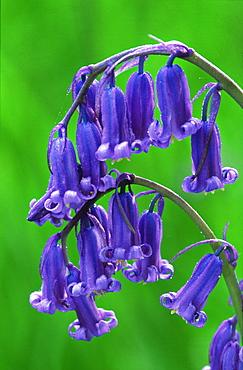 Bluebells, Endymion non-scripta, flowers, Perthshire, Scotland