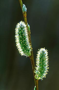 Willow, Salix sp, catkins backlit, Alam Pedja NR, Estonia