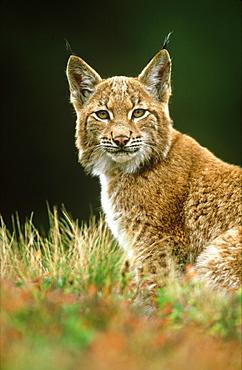 European lynx, Felis lynx, yearling male, Sumava National Park, Czech Republic