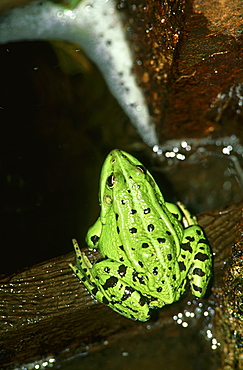 marsh frog: rana ridibunda in sluice lubans, latgale, latvia