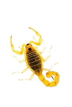 European scorpion (Buthus occitanus), Alicante, Spain