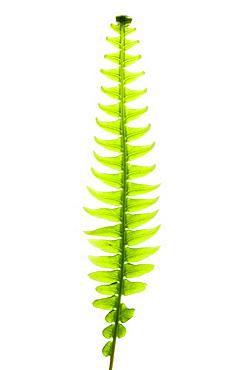 Hard fern