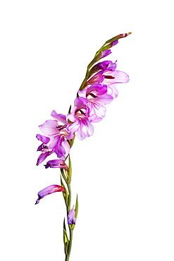 Wild gladiolus, Andalucia, Spain