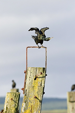 Shag (Phalacrocorax aristotelis) on old pier.  Shags use the old pier at Salen. Isle of Mull, throughout the year from which to forage in the Sound of Mull.  Hebrides, Scotland
