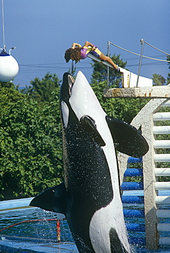 Captive killer whale (Orcinus orca).  Captive orca such as this one in Marineland, Antibes, seem to fare less well than their wild counterparts.  Antibes, France