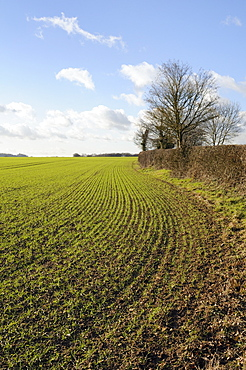 Field of young winter wheat seedlings and hedgerow, Wiltshire, England, United Kingdom, Europe