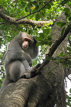 Formosan macaque (Taiwan macaque) (Macaca cyclopis) scratching its head in a banyan tree (Ficus microcarpus), Chaishan, Taiwan, Asia