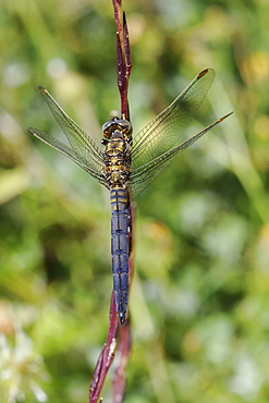 Young male keeled skimmer dragonfly (Orthetrum coerulescens), resting on plant stem, Lesbos (Lesvos), Greece, Europe
