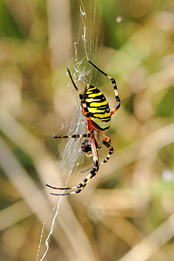 Wasp orb web spider (Argiope bruennichi) with prey, near Marburg, Hesse, Germany, Europe