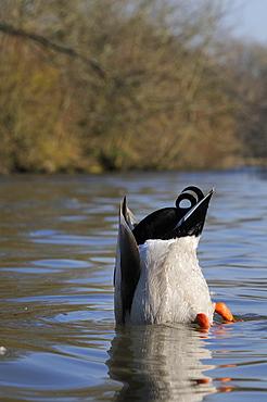 Mallard drake (Anas platyrhynchos) upended dabbling for food in lake, Wiltshire, England, United Kingdom, Europe