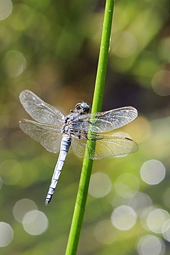 Southern skimmer dragonfly (Orthetrum brunneum) male perched on a plant stem with sparkling stream in the background, Krka National park, Croatia.