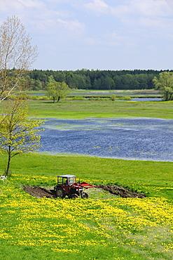 Farmer ploughing at edge of Narew marsh among carpet of Dandelions (Taraxacum sp.) in spring, Podlaskie, Poland.