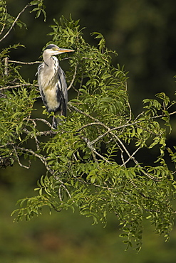Grey Heron (Ardea cinerea) perched in a tree looking to side portrait shot. Herons occasionaly roost or perch in trees. This one was perched while having a preen and stayed there for atleast 3 hours..  Argyll, Scotland