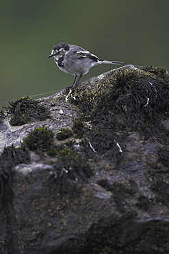 Pied Wagtail (Motacilla alba ssp yarellii) looking for food on a rock in the water. Pied Wagtails will scurry along the rocks on the banks of Loch Awe searching for insects. Argyll, Scotland