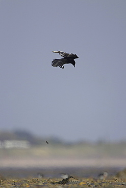 Carrion Crow (Corvus corone corone) in flight dropping Mussel (Mytilus edulis) onto ground to break it up and to feed. Angus, Scotland, UK