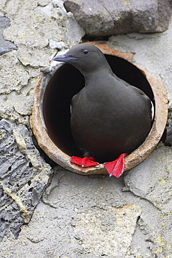 Black Guillemot (Cepphus grylle) standing in a drain pipe that a pair are nesting in. Black Guillemots nest in drains and holes in the sea wall in the middle of Oban town centre. Argyll Scotland, UK