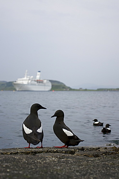 Black Guillemot (Cepphus grylle) wide angle view of birds standing on jetty with cruise liner in background and two birds swimming. Oban Bay, Argyll, Scotland, UK - 995-268