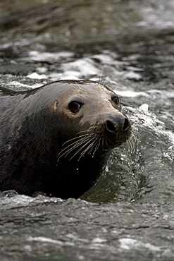 Grey Seal (Halichoerus grypus), female in surf, head just above surface of water while watching young.. Mull of Kintyre near Campbeltown, Argyll, Scotland, UK