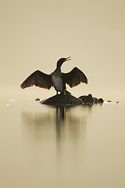 Cormorant (Phalacrocorax carbo) standing on rock with light behind drying wings, sun setting.. Kilchrenan, on the banks of Loch Awe, Argyll,, Scotland, UK