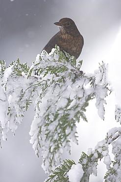 Blackbird (Turdus merula) female perched on snowy branch. highlands, Scotland, UK