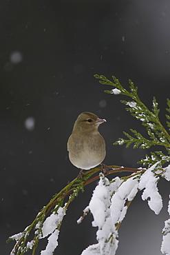 Chaffinch (Fringilla coelebs) female perched on snowy branch. highlands, Scotland, UK