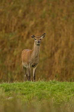 Red Deer (Cervus elaphus) hind 1st year Juvenile who has a broken ear. Isle of Mull, Argyll, Scotland, UK - 995-442