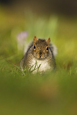 Grey squirrel (Sciurus carolinensis) in a park.  Scotland. ,