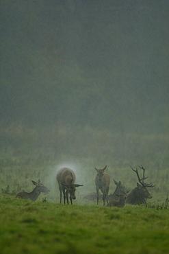 Red Deer (Cervus elaphus) hind shaking rain off coat. Isle of Mull, Argyll, Scotland, UK