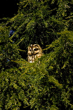 Tawny Owl (Strix aluco) perched in a pine tree. Loch Awe, nr Oban, Scotland, UK - 995-630